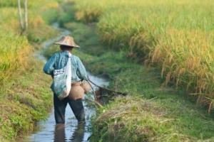 אם זה היה תלוי בזאטוטית, שדות שלמים של אורז היו מתכלים בהינף כף..